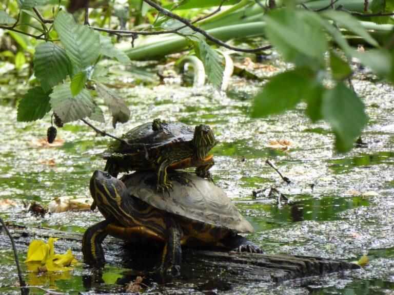 Turtle (2)
